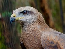 Magnificent Athletic Intelligent Square-Tailed Kite with Powerful Profile. Royalty Free Stock Photos