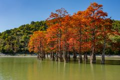 The magnificent autumn red and orange needles of the group of cypresses Taxodium distichum on the lake in Sukko. Near the city of Anapa. Once a year the lake stock photo