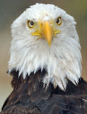 Magnificent Bald Eagle Full Frame Looking Stock Photography