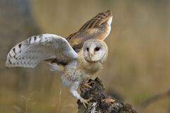 Free Magnificent Barn Owl Perched On A Stump In The Forest (Tyto Alba) Stock Image - 200954761
