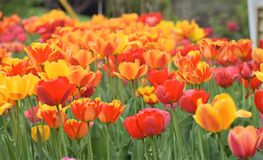 The Magnificent Beauty Of Tulips !!! stock photography