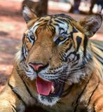 Magnificent bengal tiger, Asia, Thailand Royalty Free Stock Photos