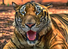 Magnificent bengal tiger, Thailand, Asia. Magnificent specimen of Bengal tiger, head of Asian cat at rest with eyes open Royalty Free Stock Image