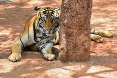 Magnificent bengal tiger, Thailand, cat lion asia. Bengal tiger from Thailand, crouching lookout alert with open eyes Stock Photo