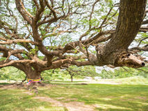 Magnificent big Rain Tree with massive trunk, Thailand Royalty Free Stock Photo