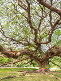 Magnificent big Rain Tree with massive trunk, Thailand Stock Photo