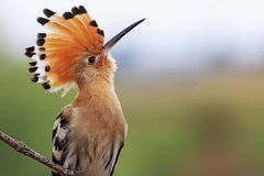 Magnificent bird with bangs Royalty Free Stock Photos