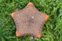MAGNIFICENT BISCUIT SEASTAR. (Echinoderm) found on a rock on the beach covered in bright green algae / seaweed. Starfish on the shoreline. Location: Susan's Bay Royalty Free Stock Photos
