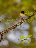 A magnificent Black-headed Oriole Royalty Free Stock Image