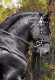 Magnificent Black Horse Royalty Free Stock Photo