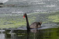 Black Swan in the lake at Gympie. Magnificent black swan gliding across the water in the lake at Gympie in Queensland stock photography