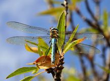 Magnificent blue dragonfly anax imperator on almond branch. Great blue dragonfly anax imperator Royalty Free Stock Image