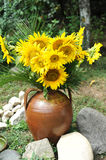 Magnificent bouquet of vivid sunflowers in antique clay pot outdoors near a rock on green grass. Clay flowerpot with sunflowers Royalty Free Stock Photos