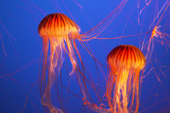 Magnificent bright exotic jellyfishes Stock Images