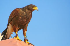 Magnificent brown Eagle with blue sky Stock Photos