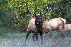 Big Bull Elk Is Angry stock photos