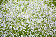 Magnificent bush of white flowers royalty free stock images