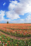 The magnificent  buttercups in Israel Royalty Free Stock Photo