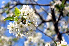 Magnificent cherry flower Royalty Free Stock Images