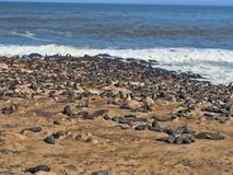 The magnificent colony Brown fur seal, Arctocephalus pusillus, Cape cross, Namibia. Magnificent colony Brown fur seal, Arctocephalus pusillus, Cape cross royalty free stock images
