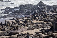 The magnificent colony Brown fur seal, Arctocephalus pusillus, Cape cross, Namibia. Magnificent colony Brown fur seal, Arctocephalus pusillus, Cape cross stock photography