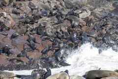 The magnificent colony Brown fur seal, Arctocephalus pusillus, Cape cross, Namibia. Magnificent colony Brown fur seal, Arctocephalus pusillus, Cape cross royalty free stock photography