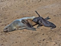 The magnificent colony Brown fur seal, Arctocephalus pusillus, Cape cross, Namibia. Magnificent colony Brown fur seal, Arctocephalus pusillus, Cape cross royalty free stock photo