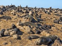 The magnificent colony Brown fur seal, Arctocephalus pusillus, Cape cross, Namibia. Magnificent colony Brown fur seal, Arctocephalus pusillus, Cape cross stock photo