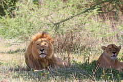 Magnificent couple of African lions Royalty Free Stock Images