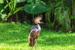 Magnificent Crowned Crane Stock Image
