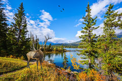 Magnificent deer with branchy horns Stock Photography