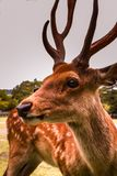 Magnificent deer in the wild standing with pride stock photography
