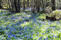 Bluebells in Fore Wood, Crowhurst, East Sussex, England royalty free stock photo