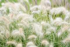 Magnificent ears in the field. Herbs for landscape design. Eared plants in flowerbeds and natural appearance. Grass in royalty free stock images