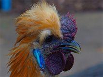 Magnificent Entrancing Fabulous Silky Rooster with Bold Flamboyant Features. A close up portrait of a colourful silky chicken with striking comb & wattles Royalty Free Stock Images