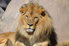Magnificent Face of a Male Lion with a Thick Mane Stock Photo