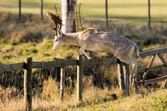 A Magnificent Fallow Deer Buck - Dama dama, jumping over a fence. An impressive Fallow Deer Buck, Dama dama, in mid-air leaping over a parkland fence in Royalty Free Stock Photography