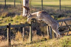 A Magnificent Fallow Deer Buck - Dama dama, about to jump a parkland fence. An impressive Fallow Deer Buck, Dama dama, standing on his rear legs and about to Royalty Free Stock Images