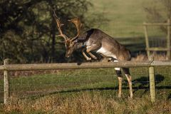 A Magnificent Fallow Deer Buck - Dama dama, about to leap over a parkland fence. Stock Images