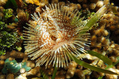 Magnificent feather duster worm sea life Stock Photos