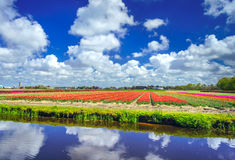 Magnificent field of tulips in Holland. Lisse. Stock Photos