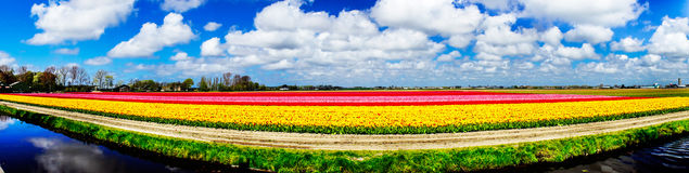 Magnificent field of tulips in Holland. Lisse. Stock Images