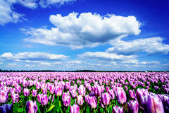 Magnificent field of tulips in Holland. Stock Image