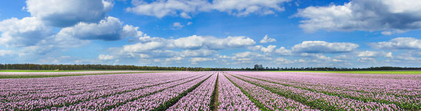 Magnificent field of tulips in Holland. Royalty Free Stock Images