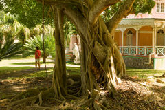 A magnificent fig tree at plantation house, bequia Stock Images
