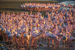 Magnificent flamingos in Namibia Stock Images