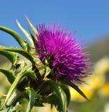 Magnificent Flowerhead Of Silybum Marianum Royalty Free Stock Photo