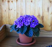 Magnificent flowering viola purple in a flowerpot Stock Photography