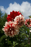 Magnificent flowers. Magnificent bunch of three dahlia Stock Image