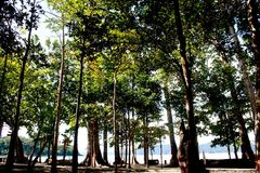Magnificent 150 foot trees - Sea Mohwa on Radhanagar beach, Havelock Island, Andaman Islands, India. Magnificent 150 foot trees - Sea Mohwa tree woods on Stock Image